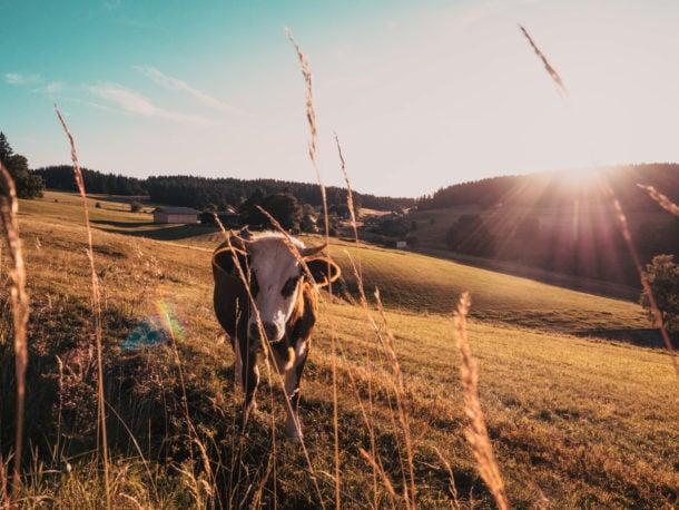 Forêt-noire campgne vache