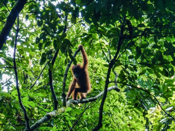 Orangs Outans milieu naturel