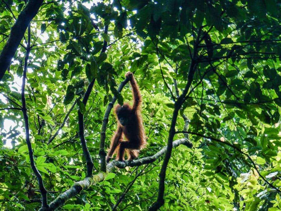 orang outan bébé