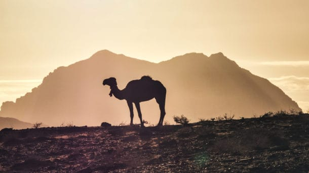Wadi Rum Chameau Jordanie