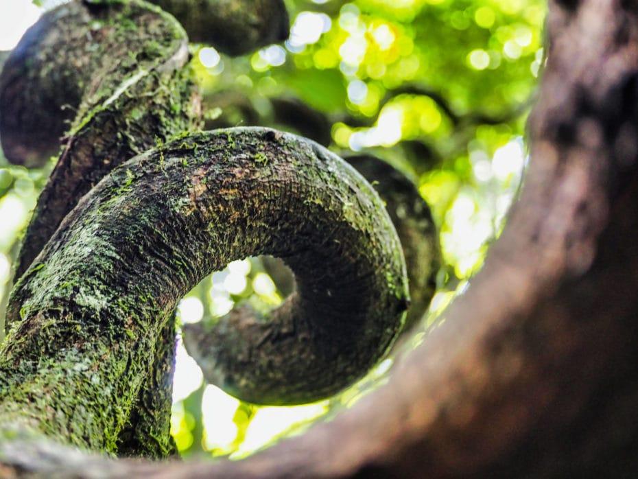 arbre jungle ketambe