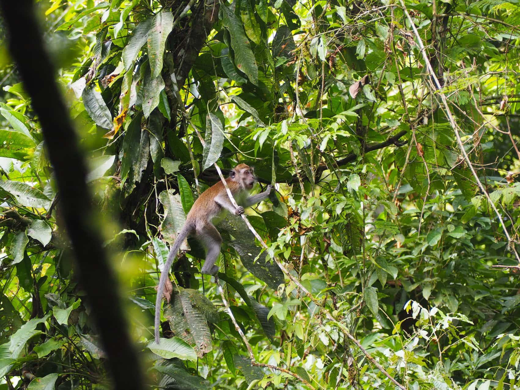 Sumatra macaques