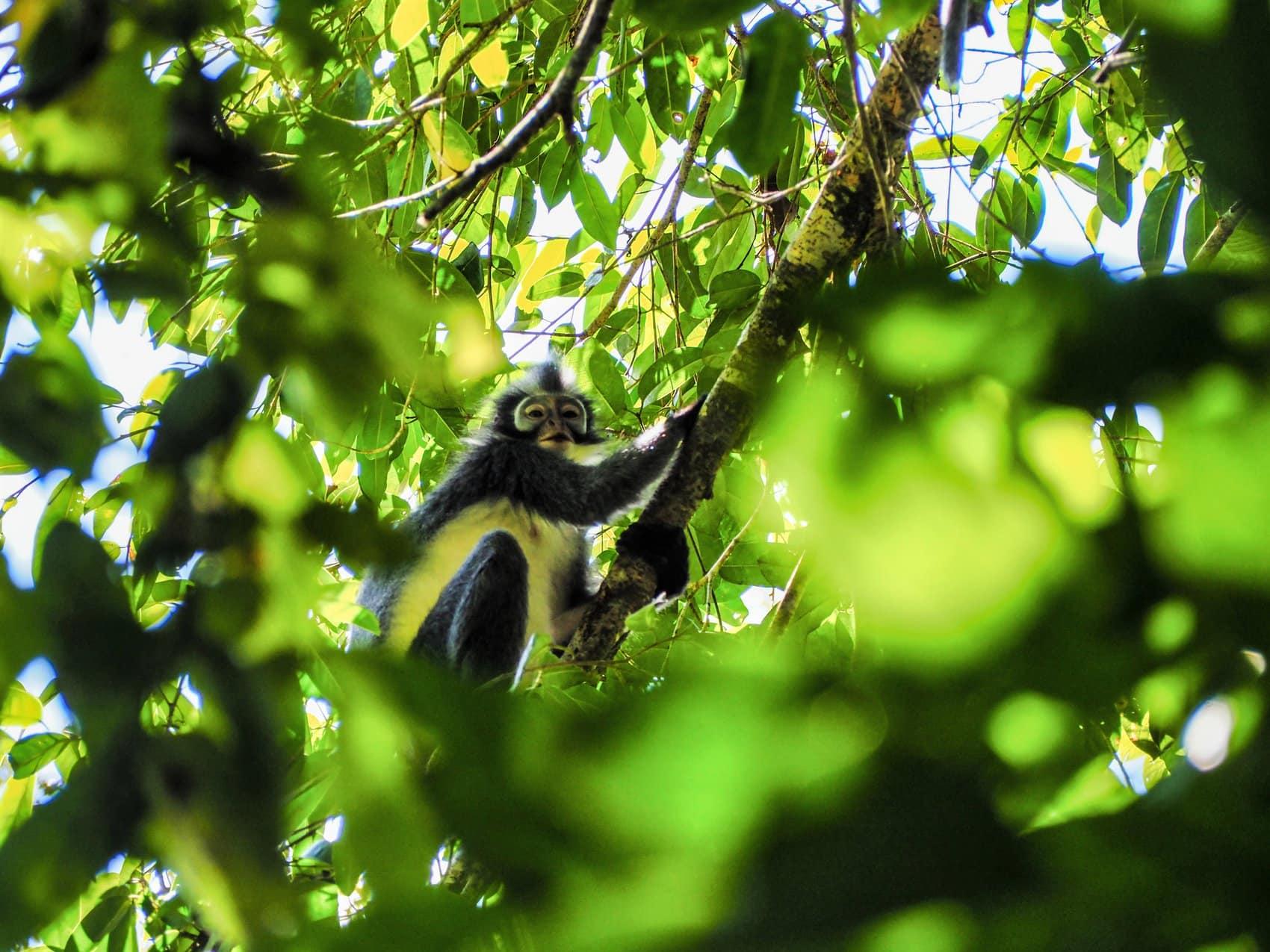 Sumatra Thomas Leef monkey