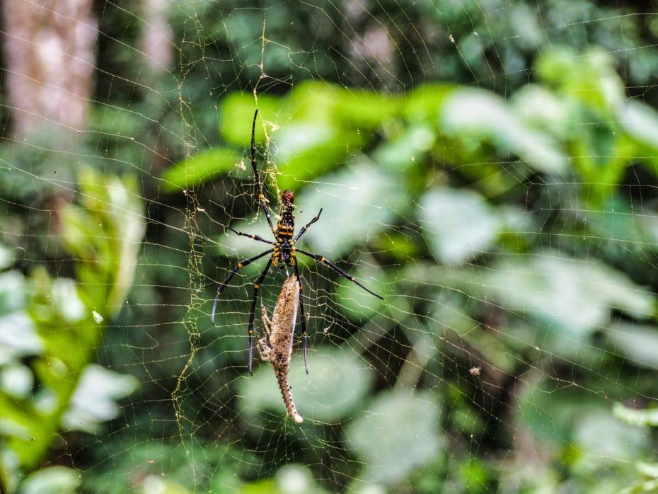 jungle Indonésie  araignée
