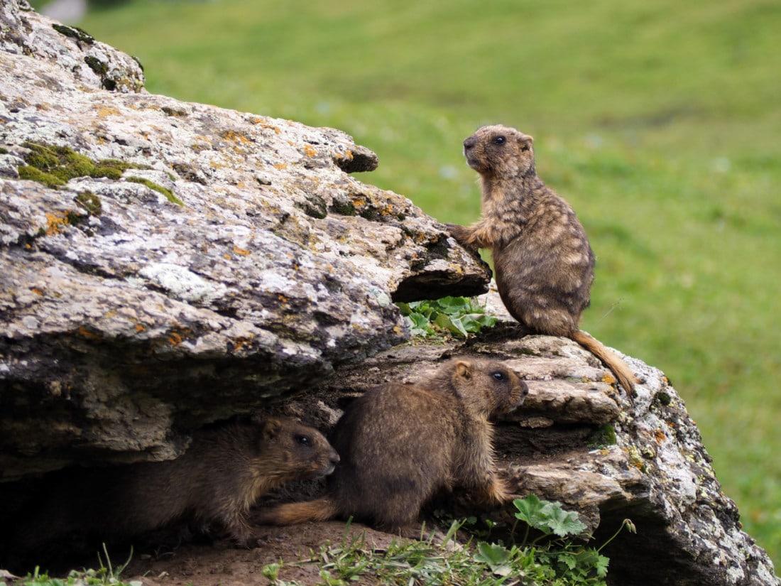 Marmottes au kirghizistan