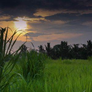 Calme dans les rizières de Bali